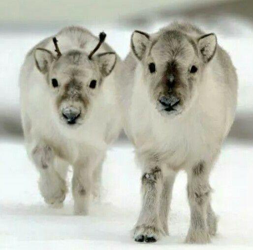 reindeer calves.