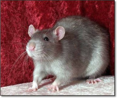 What Wood Can My Rat Chew?: Socrates the Rat