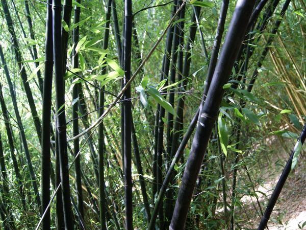 1000 id es sur le th me phyllostachys nigra sur pinterest jardin de bambous bambou et culture. Black Bedroom Furniture Sets. Home Design Ideas