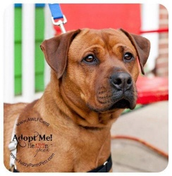 Margie is an adoptable Rottweiler Dog in Germantown, MD. Hi there, My name is Margaret and I'm a red rottweiler/boxer mix. You wouldn't believe my story, but let me tell it anyway. I wasn't spayed and...