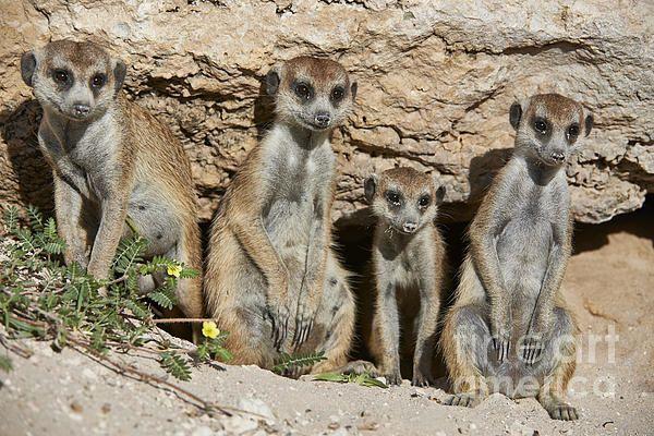 meerkat or suricate, Suricata suricatta, Kgalagadi Transfrontier Park, Kalahari  here you can buy this image