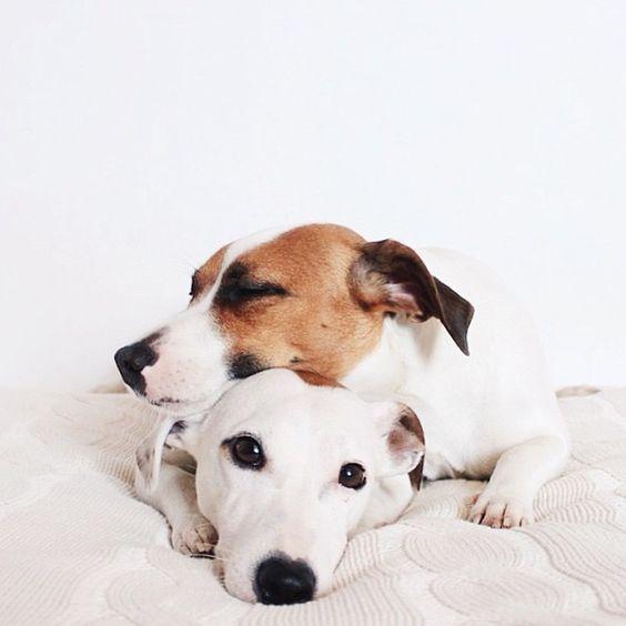 30 casais de cachorros que mostram como o amor é lindo