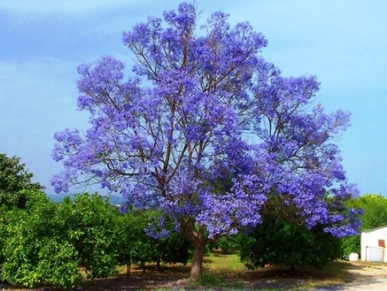 Wonderful Jacaranda trees in the Comares ares