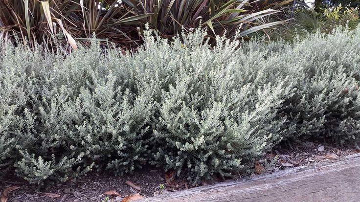 Westringia fruticosa 'Zena'   Alpine Nurseries