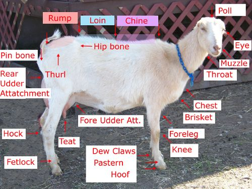 Conformation of a Goat