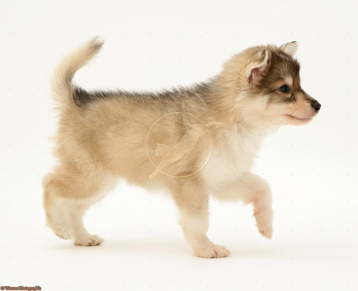 Utonagan puppy. I will get one of these guys one day!