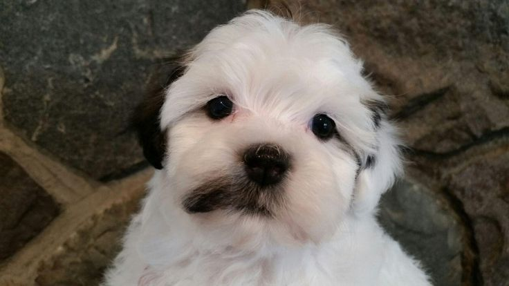 Havanese puppies for sale by Michigan Havanese breeders. AKC Havanese dogs available. Heavenly Havanese in Imlay City, MI has puppies available to be adopted by their furever home. Our Havanese puppies are Heaven sent to give lots of love.