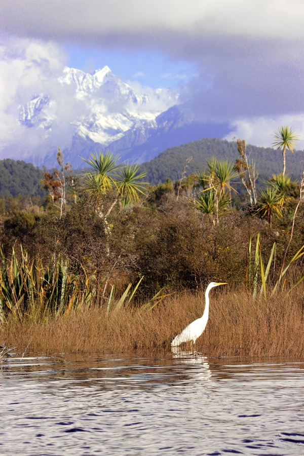 OK, I have to admit it, I am an avid birder ever since I came to NZ. I find the species here fascinating. Whenever I go for a walk, I always bring my big camera and my NZ Bird guide book (which drives my kiwi partner crazy!) This is a white heron who posed perfectly for me in the Okarita Lagoon. #greatwalker