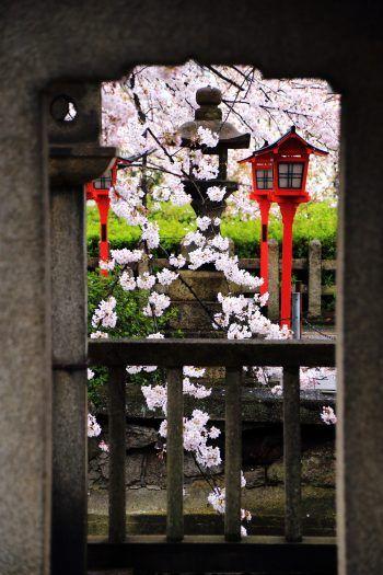 桜の名所の京都六孫王神社の満開の桜と灯籠