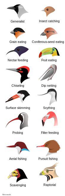 Bird beaks: I like the grain eating or coniferous-seed