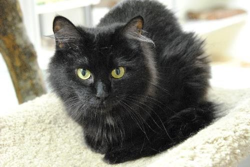fluffy black cat breeds - Google Search | Fluffy black cat ...