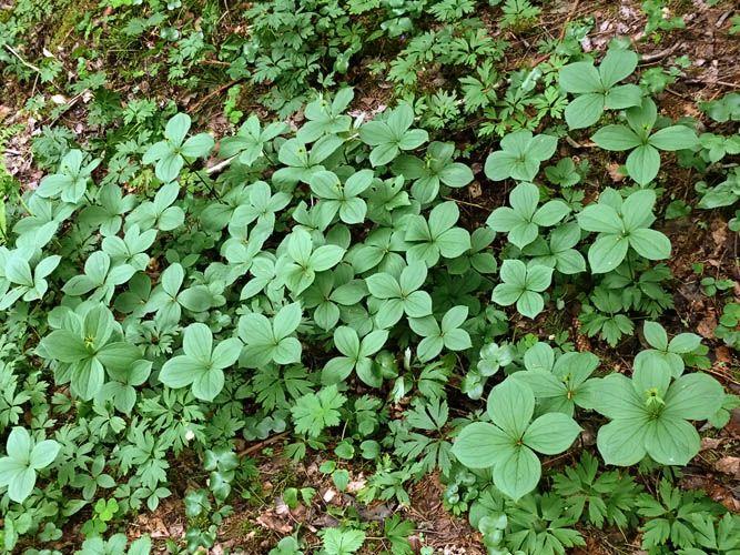 Trollbär/ormbär, Paris quadrifolia - Blomväxter - NatureGate