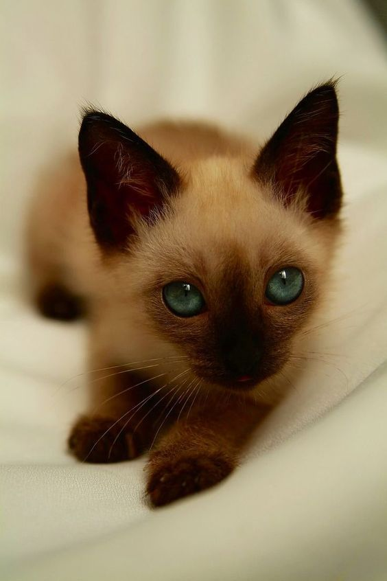 Lilac Point Siamese kitten❤️ and like OMG! get some yourself some pawtastic adorable cat apparel!