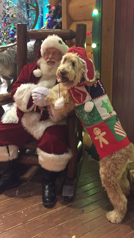 A Labradoodle Christmas