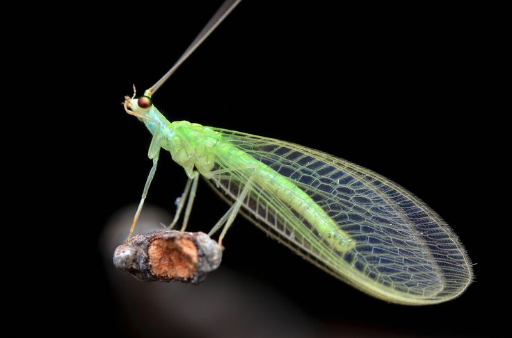 Green lacewings are just one of the many beneficial insects that are effective at reducing plant pest ...