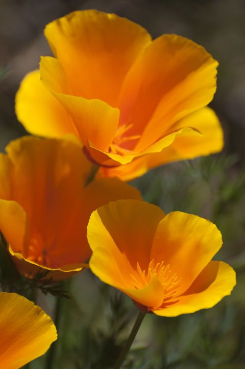 Mark your calendar: April 6 is California Poppy Day. Naturalist Adelbert Von Chamisso gave the flower its botanical name, Eschsholtzia californica, when he arrived in San Francisco in 1816. via California State Library