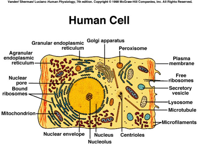 Human cell, showing the inner structure of the cell | Geics | Why do people, How to stay
