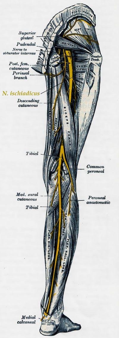 Afbeeldingsresultaat voor nervus ischiadicus