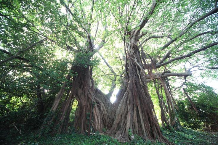 長崎県五島_アコウの樹  Wild local ficus in Goto island, Nagasaki