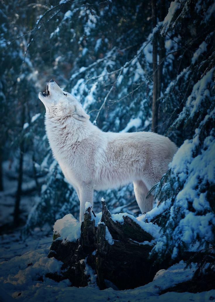 Good Morning Call of an Arctic Wolf  | by Michael schönberger