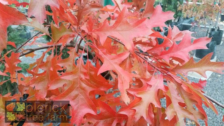 Quercus palustris – Pin Oak – Purchase Bare Rooted Trees Online