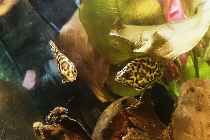 Ctenopoma, Leopard Gurami, freshwater aquarium