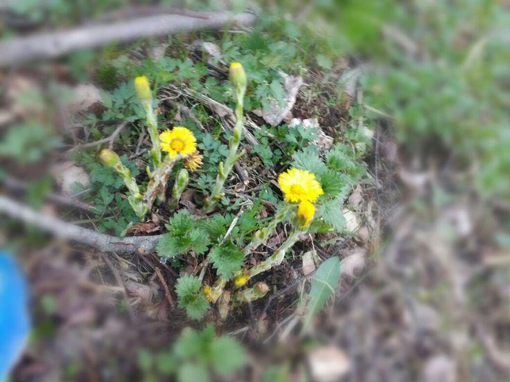 19.5 leskenlehti (tussilago farfara) metsäpolku