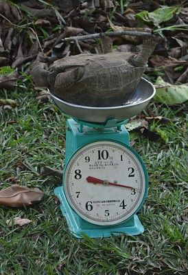 Baby Aldabra giant tortoise being weighed on North Island