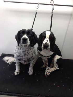 Dog Grooming Gallery Muddy Paws Mobile Dog Grooming Staffordshire and Cheshire