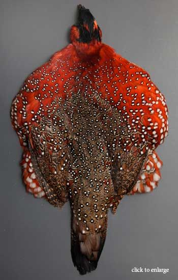 Satyr Tragopan Feathers   Classic Salmon Fly Tying Materials   Fly Tying Feathers