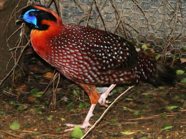 Male Temmicks Tragopan (pheasant) for sale and others