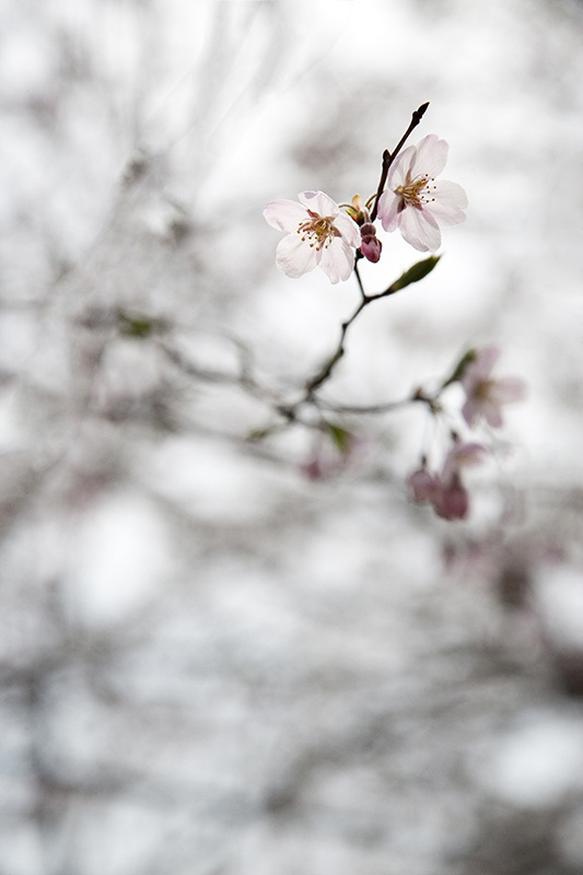 cherry blossoms,flower,seoul,KOREA photo by e.s lee