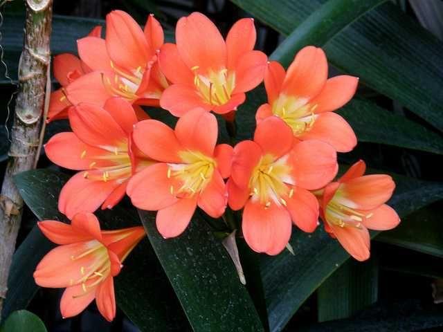 kaffir lily care instructions