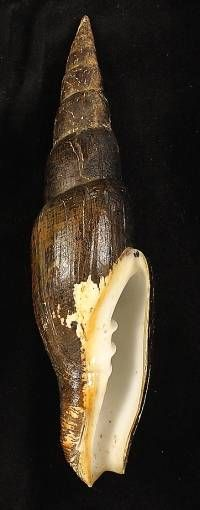 Mitra swainsoni with periostracum, 132,4 mm in height, Coiba Island, Pacific…