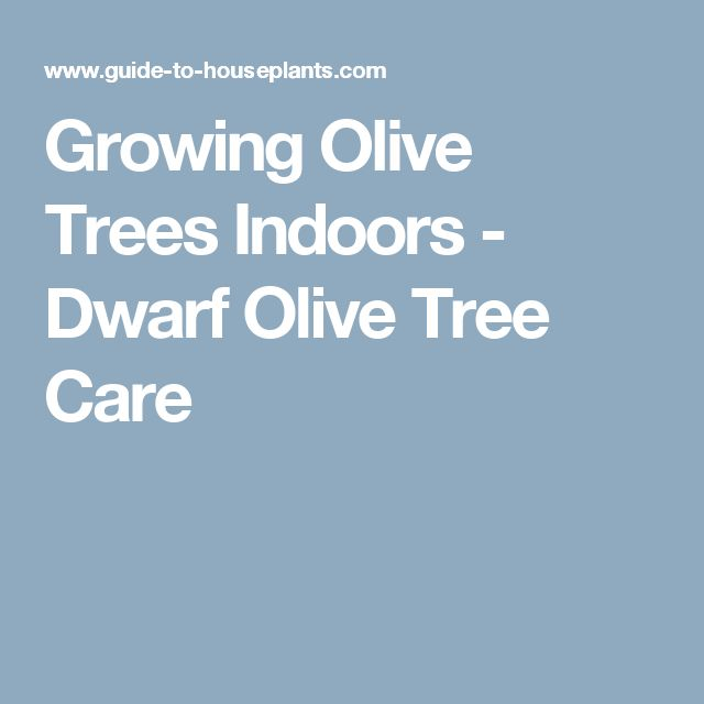 Growing Olive Trees Indoors - Dwarf Olive Tree Care