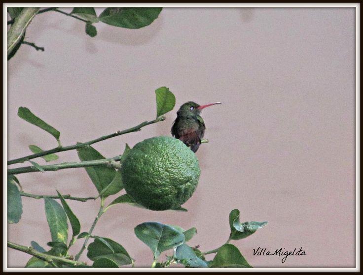 Lime tree hummingbird