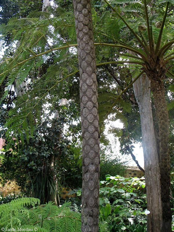 Bellísimo tronco del helecho arbóreo Cyathea cooperi con las cicatrices en forma de panal de miel que dejan las frondes viejas al desprenderse.
