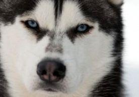 2-May-2015 13:25 - ZEEUWSE POLITIE NEEMT TIENTALLEN HONDEN IN BESLAG. De politie heeft 32 honden in beslag genomen bij een bedrijf in de Zeeuwse plaats Groede. Het bedrijf verzorgt toertochten met husky's in binnen- en buitenland. Volgens de politie waren de honden zeer sterk vermagerd en sommige zaten in een ruimte die vervuild was met hondenpoep. Het bedrijf was al een paar keer gewaarschuwd, maar de situatie verbeterde niet. De sledehonden zijn naar een opvangplek in Amsterdam...