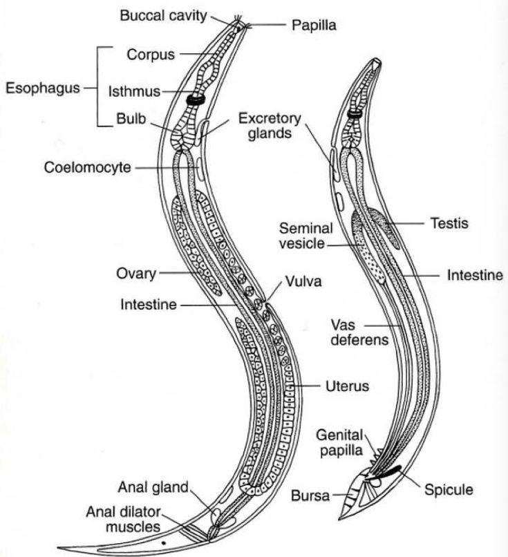 pin by hunter simmons on phylum nematode
