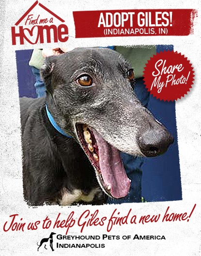 Meet Giles he's in Indianapolis at Greyhound Pets of