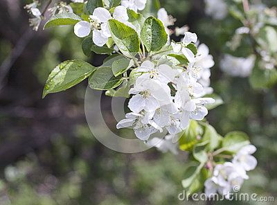 Blossoming Apple Twig - Download From Over 59 Million High Quality Stock Photos, Images, Vectors. Sign up for FREE today. Image: 92040124