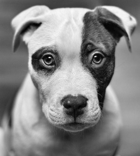 """Do you know that Pit Bulls are, once upon a time, considered to be """"Nanny"""" dogs to watch children? They are still extremely good with children. Its how you LOVE a dog is how they LOVE you in return.Face, Dogs, Pitbull, Puppies Eye, Pets, Black White, Pit Bull, Weights Loss, Animal"""
