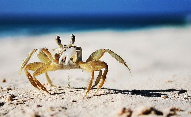 Crab on the beach in Barbados - he suggests your should stay at Yellow Bird Hotel, good suggestion! https://www.facebook.com/YellowBirdBarbados