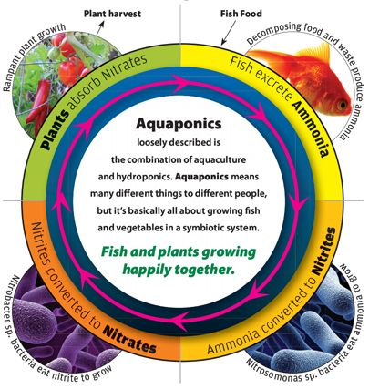 This graphic describes the process of how Aquaponics actually work.