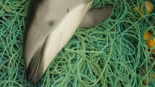 Dolphins butchered for shark bait in illegal hunt off the coast of Peru