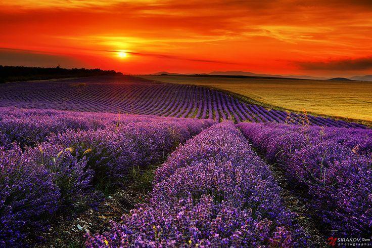 lavendel 3 10 Prachtige Fotos van Lavendelvelden