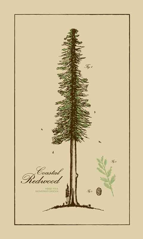 california redwood drawing - Google Search