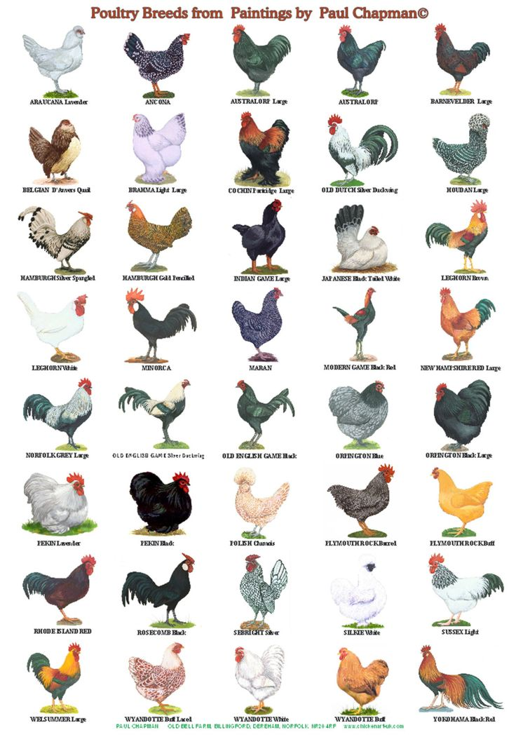 A4 size laminated Poster of different breeds of poultry, Two different posters to choose from. Or buy both with reduced price and postage. size 8.5 x 12 inches. 21.5 x 30.5 cm