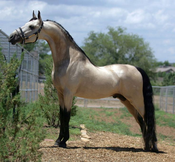 c...Pantheon is not a buttermilk buckskin stallion like some pins say, but he's actually a grulla. This is a very rare American Saddlebred color, and two of his three offspring have been grulla as well. Winsdown Black Gold x Hallmark's Sea Princess. Once at Freeman Saddlebreds, I later saw he had been gelded, but frozen semen is available.