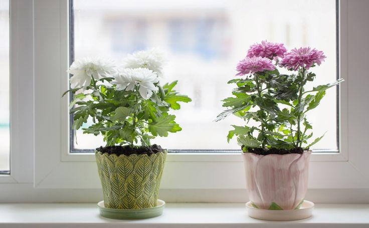 Комнатные растения, очищающие воздух в помещении: садовая хризантема